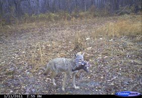 coyote-impacts-1